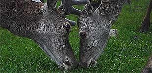 Олени в Урнесе, Норвегия