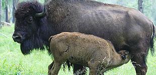Приокско-террасный заповедник, зубры